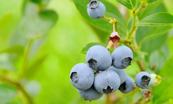 trai-Blueberry-Cranberry